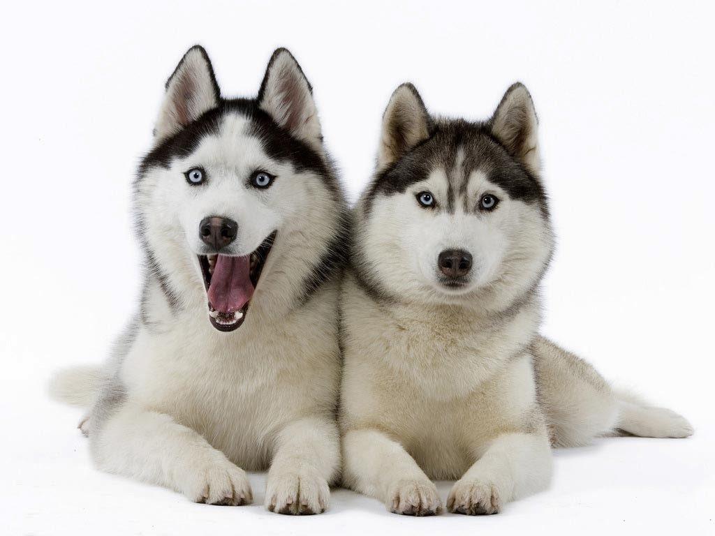 Fakta Menarik Tentang Siberian Husky