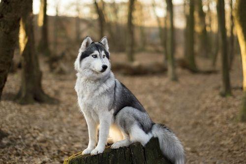 Informasi Tentang Kehidupan Siberian Husky