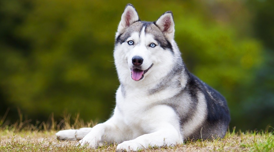 Jenis-Jenis Anjing Siberia yang Bisa Diikutsertakan dii Kompetisi Anjing Internasional