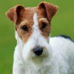 Inilah Anjing Terbaik yang Menjadi Pemenang Dalam Kompetisi Anjing Internasional