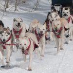 Kompetisi Dogsledding Internasional Di Rusia