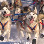 Siberian Husky Bulgaria : Anjing Kuat dan Lincah Untuk Perlombaan Luncur