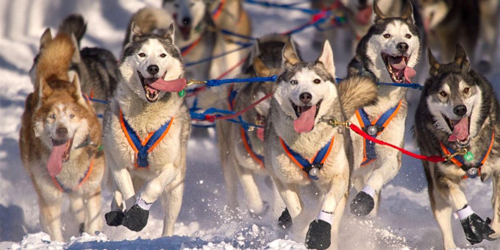 Siberian Husky Bulgaria Anjing Kuat dan Lincah Untuk Perlombaan Luncur