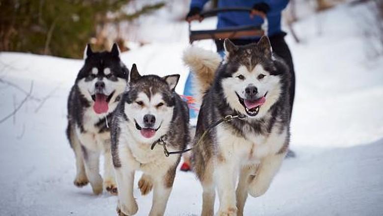 Tips Perawatan Anjing Siberia Husky Bulgaria