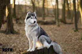 Sejarah dan Cara Perawatan Anjing Siberian Husky