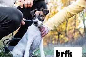 Cara Kerja Pertunjukan Anjing dan Bagaimana Seekor Anjing Memenangkan Pertunjukan