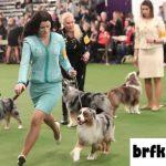 Kompetisi Anjing Terkemuka di AS