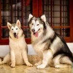 Perbandingan Ras Gembala Bulgaria vs Siberian Husky