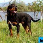Mengenal Lebih Dekat 3 Ras Anjing Bulgaria