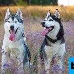 Mengenal Ras Anjing Siberian Husky
