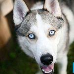 Pro dan Kontra Memiliki Siberian Huskies sebagai Hewan Peliharaan