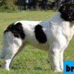 Review Anjing Karakachan (Bulgaria Shepherd)