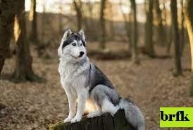 7 Ras Anjing Serigala yang Terlihat Seperti Huskies