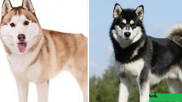 Perbandingan Ras Anjing Husky vs Akita