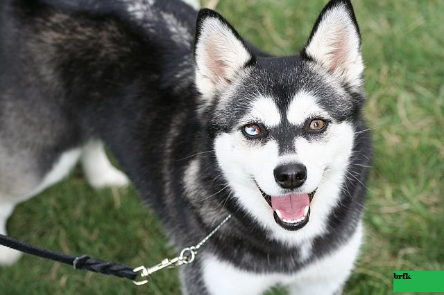 Anjing Ras Huski : Klee Klai Amerika