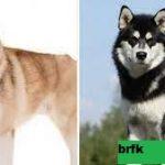 Perbandingan Ras Keeshond vs Siberian Husky