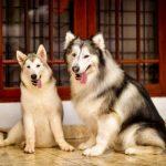 Perbedaan Anjing Samoyed Vs Husky