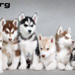 Review Anjing White Siberian Husky