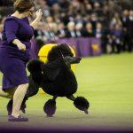5 Pertunjukan Anjing Terbaik di Dunia