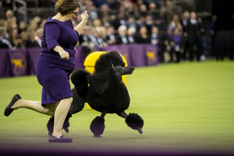 Pertunjukan Anjing Terbaik di Dunia